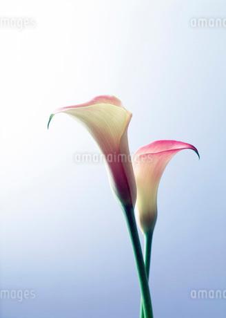 カラーの写真素材 [FYI01956870]
