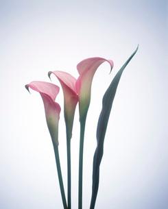 カラーの写真素材 [FYI01956892]