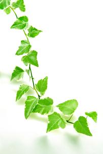 ツタの葉の写真素材 [FYI01961238]