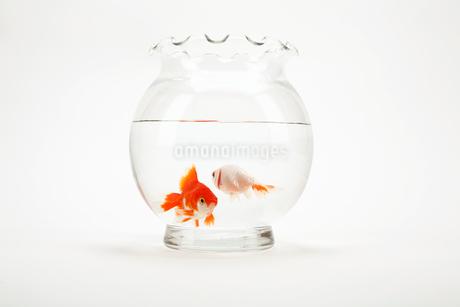 金魚の写真素材 [FYI01961781]