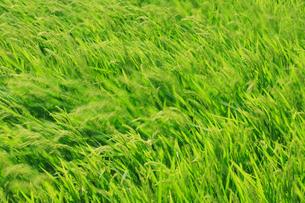 風に揺れる稲の写真素材 [FYI01963652]
