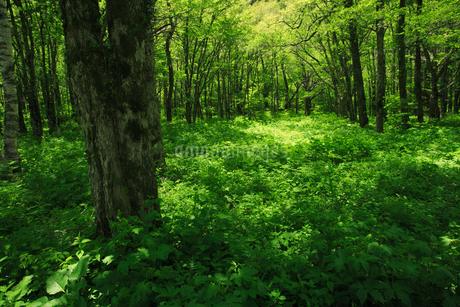 初夏の森林の写真素材 [FYI01963934]