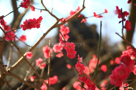 紅梅の写真素材 [FYI01963997]