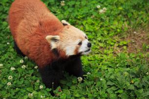 レッサーパンダの写真素材 [FYI01965413]