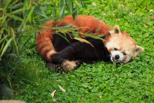 草原に横たわるレッサーパンダの写真素材 [FYI01965922]