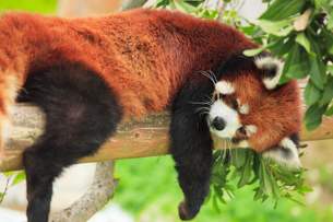 木に横たわるレッサーパンダの写真素材 [FYI01967025]