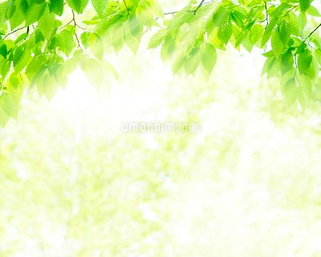 新緑と木漏れ日の写真素材 [FYI01968259]