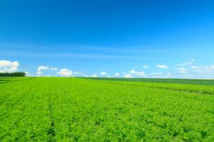 にんじん畑と青空 富良野の写真素材 [FYI01969934]