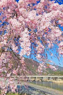 満開の桜と渡月橋 京都府の写真素材 [FYI01970380]