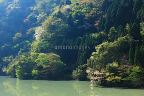 新緑の永源寺ダム 滋賀県の写真素材 [FYI01975071]