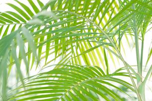 ヤシの葉 観葉植物の写真素材 [FYI01976990]