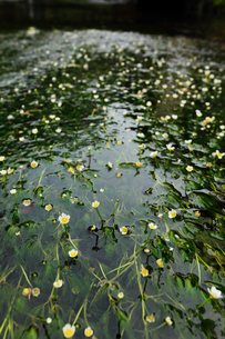 バイカモの花と清流 滋賀県の写真素材 [FYI01979547]
