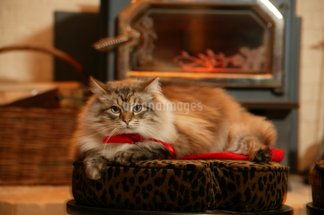 Domestic cat on bedの写真素材 [FYI01979776]