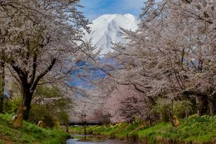忍野村の桜と富士山の写真素材 [FYI01979801]