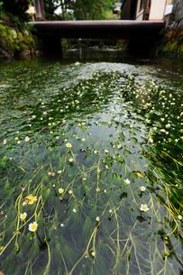 バイカモの花と清流 滋賀県の写真素材 [FYI01981093]