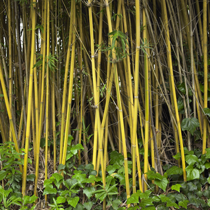 Close-up of bamboo growing outdoorsの写真素材 [FYI01985755]