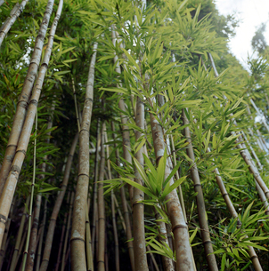Low angle view of bambooの写真素材 [FYI01985989]
