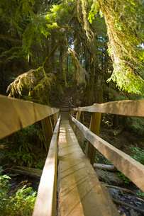 Footbridge in pine forestの写真素材 [FYI01986056]