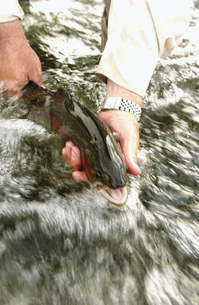Fisherman holding trout in streamの写真素材 [FYI01986175]