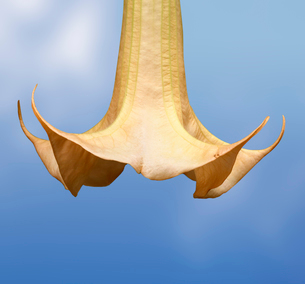 Flower petal, Datura flowerの写真素材 [FYI01986255]