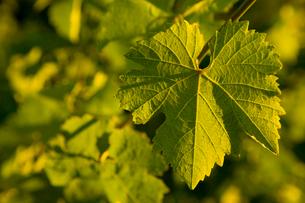 Close-up of leaf grape leafの写真素材 [FYI01986352]