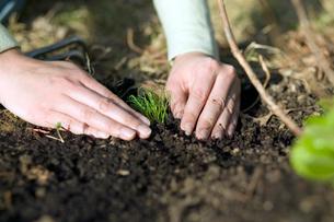 Woman planting tiny plantの写真素材 [FYI01987309]