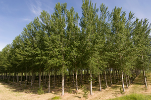 Trees planted in a rowの写真素材 [FYI01987358]