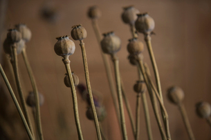 Dry seed pods on stemsの写真素材 [FYI01988201]