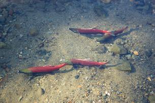 Salmon swimmingの写真素材 [FYI01988796]