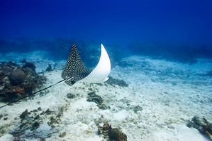 Ray swimming in oceanの写真素材 [FYI01989404]