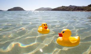 Rubber ducks floating in lakeの写真素材 [FYI01990078]