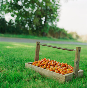 Collected cherry tomatoesの写真素材 [FYI01990758]
