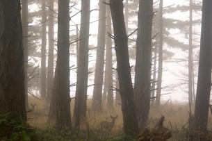 Two deer in misty woodsの写真素材 [FYI01991655]