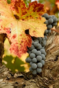 Grape cluster and autumn leafの写真素材 [FYI01992336]