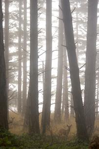 Two deer in misty woodsの写真素材 [FYI01992375]
