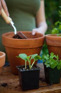 Woman potting plantsの写真素材 [FYI01992748]
