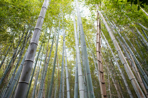 Low angle view of bamboo forestの写真素材 [FYI01993405]