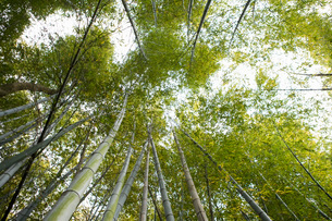 Low angle view of bamboo forestの写真素材 [FYI01993466]