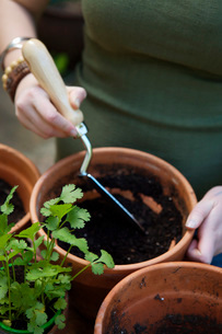 Woman planting cilantroの写真素材 [FYI01994245]