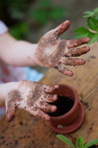 Girl with dirty hands potting plantsの写真素材 [FYI01994496]