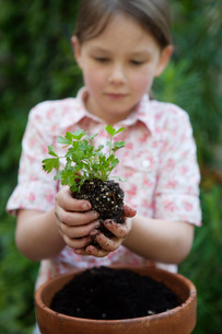 Girl planting parsleyの写真素材 [FYI01994571]