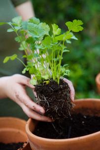 Woman planting cilantroの写真素材 [FYI01994769]