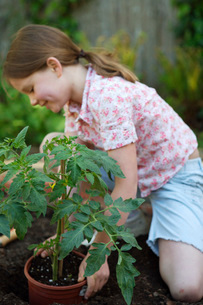 Girl planting tomato plantの写真素材 [FYI01995268]
