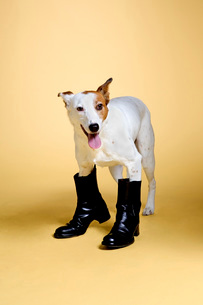 Dog wearing bootsの写真素材 [FYI01995452]