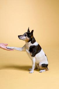 Dog shaking handsの写真素材 [FYI01995691]