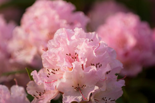 Close up of pink flowersの写真素材 [FYI01996565]