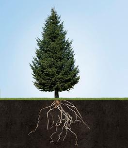 Tree with underground rootsの写真素材 [FYI01997012]