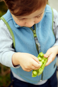 Boy eating peas from podの写真素材 [FYI01997131]