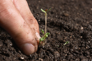Hand removing sprouts from soilの写真素材 [FYI01997292]