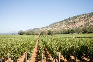 Rows of grape vines at vineyardの写真素材 [FYI01997384]
